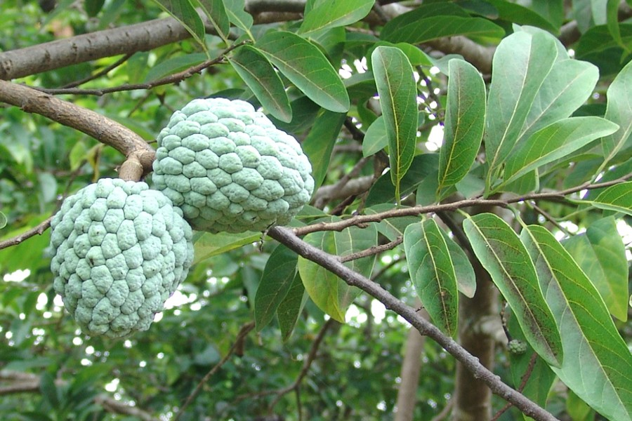 Indigenous fruits disappearing in Narsingdi