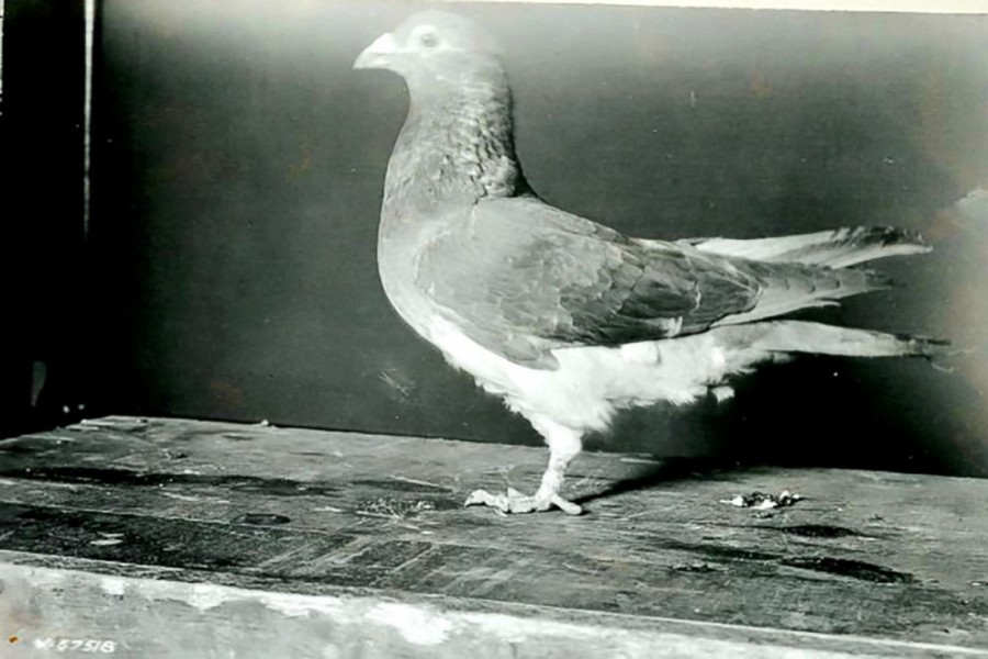 100th anniversary of pigeon's saving of US troops in WWI