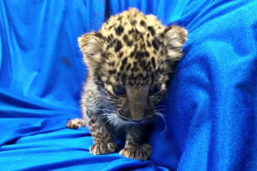 The leopard cub will be rehabilitated in Aringar Zoo in Chennai. Twitter image by Chennai Customs
