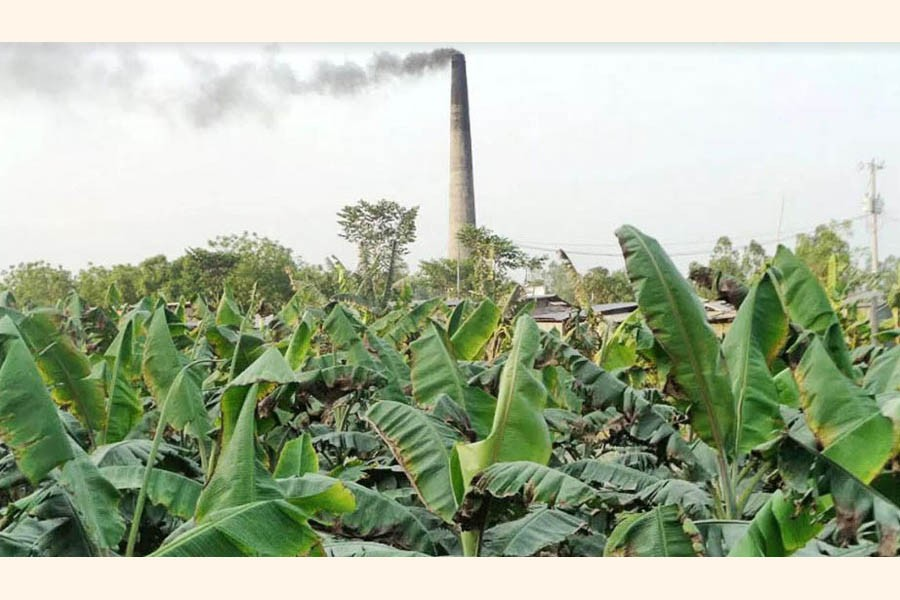 A partial view of a damaged banana field in Alampur union under Mohadevpur upazila of Naogaon     — FE Photo