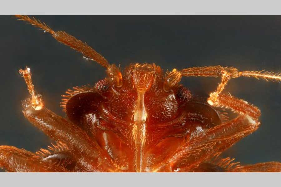 Bedbugs more ancient than dinosaurs