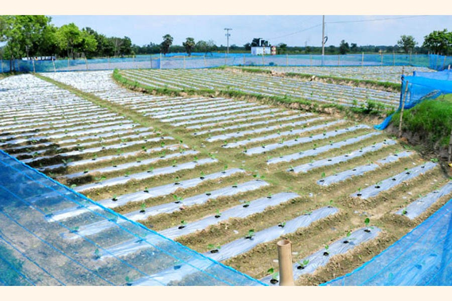 A view of a brinjal field in Godagari upazila of Rajshahi district where growers are using polythene sheets to save the plants from excessive rain water    — FE Photo