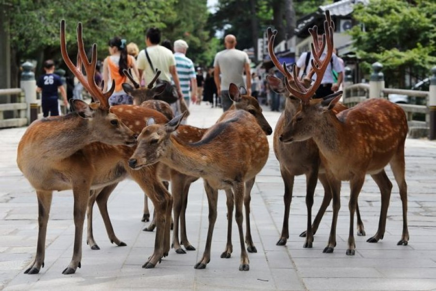 Nara, a popular spot for tourists, is home to over 1,200 free-roaming deer. Photo Courtesy: Flickr/ Teruhide Tomori