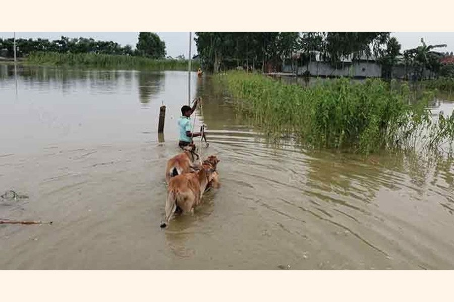 A cattle rearer in the flood-affected Char Dhusmara village under Kawnia upazila in Rangpur district shifting his cattle head to a high land on Sunday— FE Photo