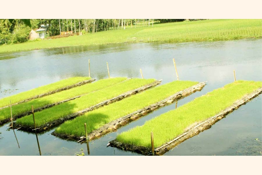 A view of some floating Aman seedbeds in Nijpara village under Kawnia upazila of Rangpur district    	 	— FE Photo