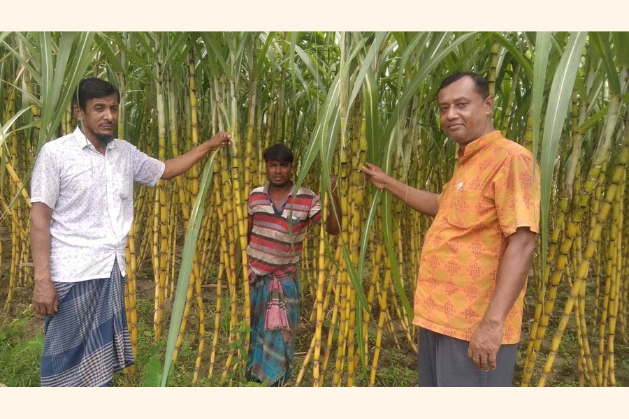A partial view of a yellow sugarcane field at Ghasiara village under Sreepur upazila in Magura district  	— FE Photo
