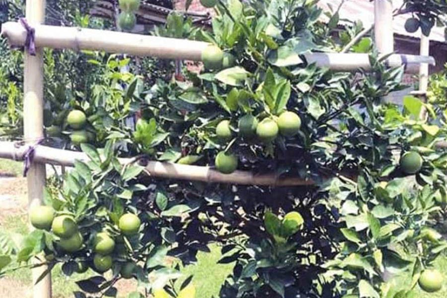 A view of a malta orchard in Khetlal upazila of Joypurhat district — FE Photo