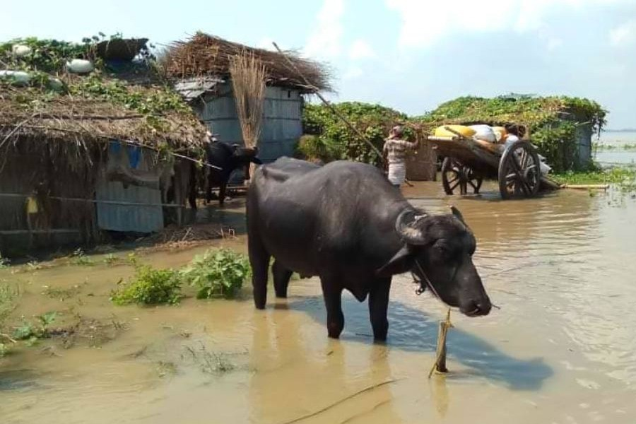 Buffaloes seen grazing at a recent flood-affected char village under Lalpur upazila in Natore district	— FE Photo