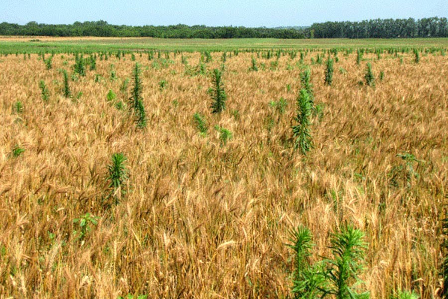 Weed management in boosting food output