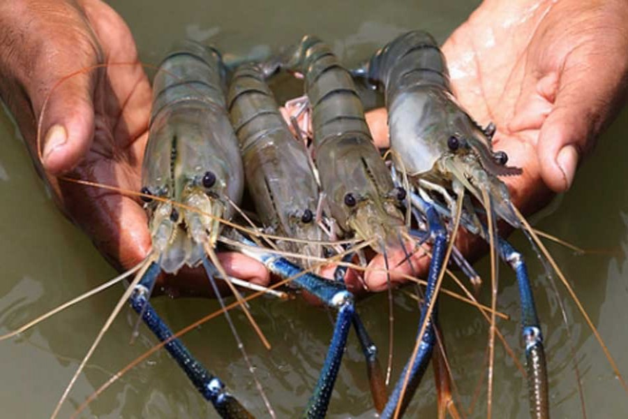 Increasing shrimp exports to earn foreign exchange