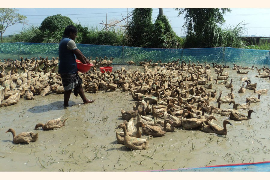 A youth feeding the ducks at his farm at Madhupara union under Atgharia upazila in Pabna district	— FE Photo