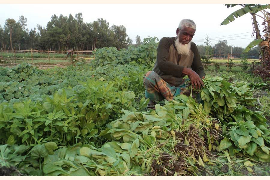 An elderly farmer harvesting spinach from his field under Akkelpur upazila of Joypurhat 	— FE Photo