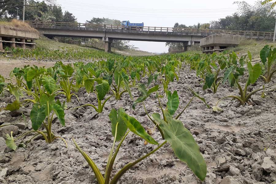 Taro being grown in the dry portion of the Mandartala canal in the Bakhunda area of Girda union under Faridpur Sadar upazila 	— FE Photo