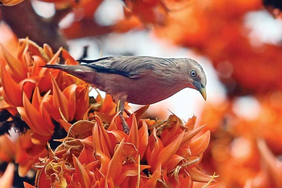 A bird sits on the petals of Palash flower to sip honey signaling the advent of spring. The photograph was taken from Dhaka University campus in the city on Thursday — FE photo by KAZ Sumon