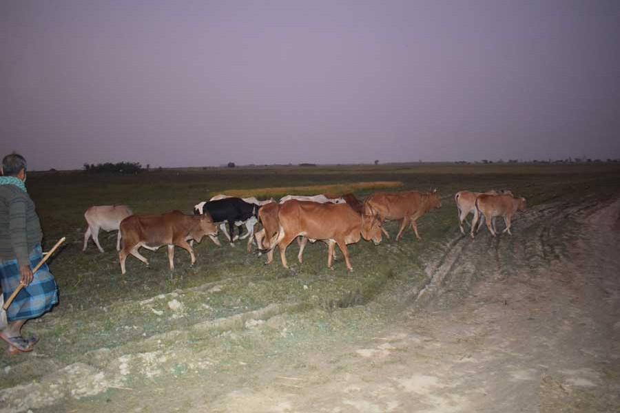 A cattle rearer on his way back home with his animals in the sunset in Faridpur— FE Photo