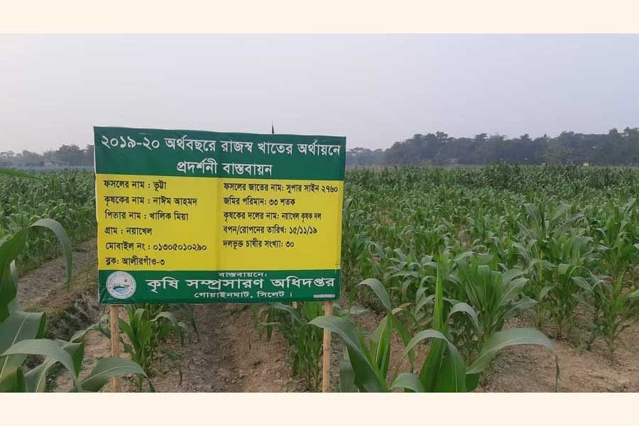 A demonstration plot of high-yielding maize 'Supershine-2760' set up by the Noyakhel farmers' group in Gowainghat upazila of Sylhet district — FE Photo