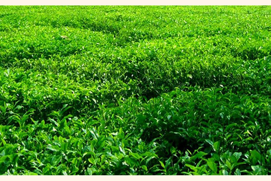 Tea growing on plain land becomes a boon for northern districts' farmers