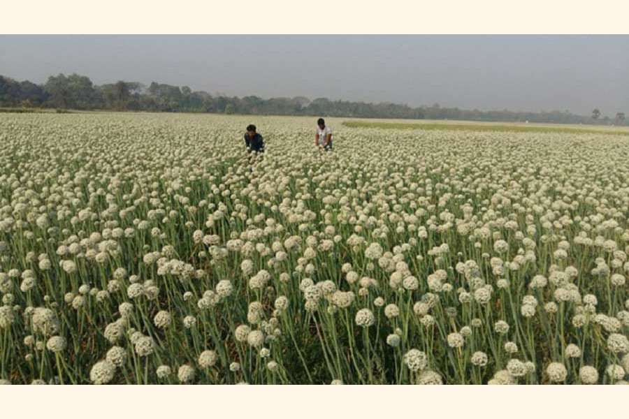 An onion seed production field at a village of Faridpur district	—  FE Photo