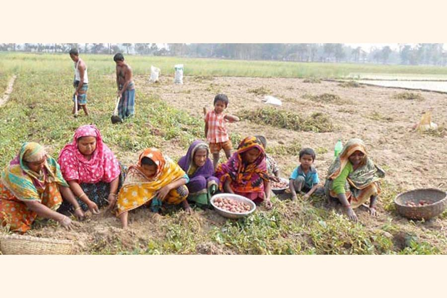 Labourers collecting potatoes from a field under Dupchanchia upazila of Bogura district — FE Photo