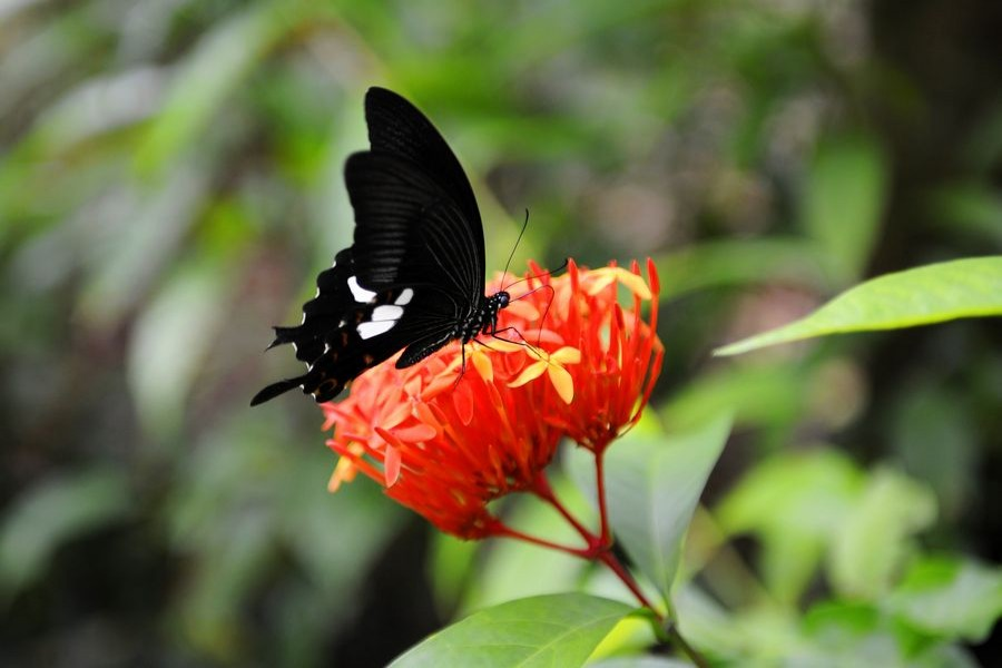 File photo shows a butterfly rests on a flower in a tropical rainforest national park in Mengla County of Xishuangbanna Dai Autonomous Prefecture, southwest China's Yunnan Province. (Xinhua/Liu Yongzhen)