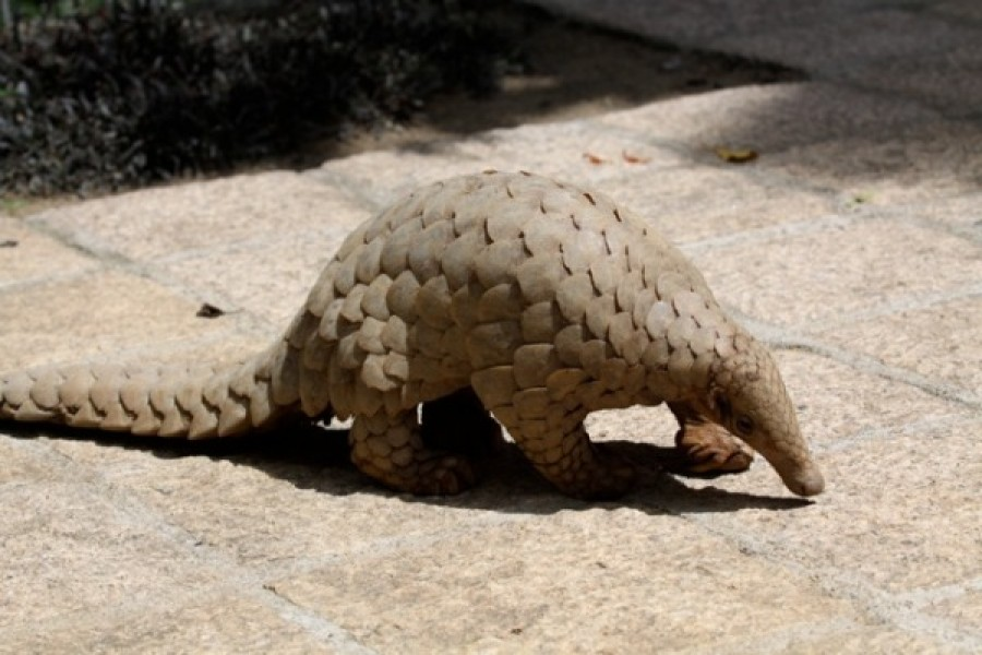 Pangolins found to carry viruses related to COVID-19