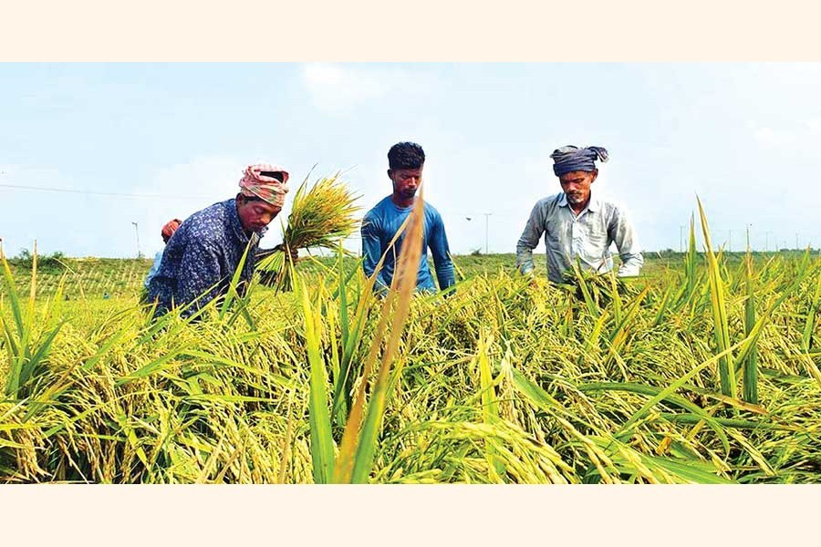 Farmers with the help of locals harvesting paddy in Dharanti Haor of Sarail upazila under Brahmanbaria district on Tuesday in their race against time with a flood warning already issued — Focus Bangla