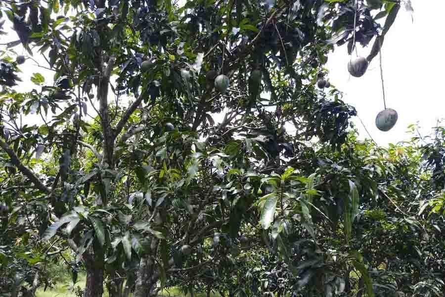 A tree bearing mangoes in village Batikadanga in Magura — FE Photo