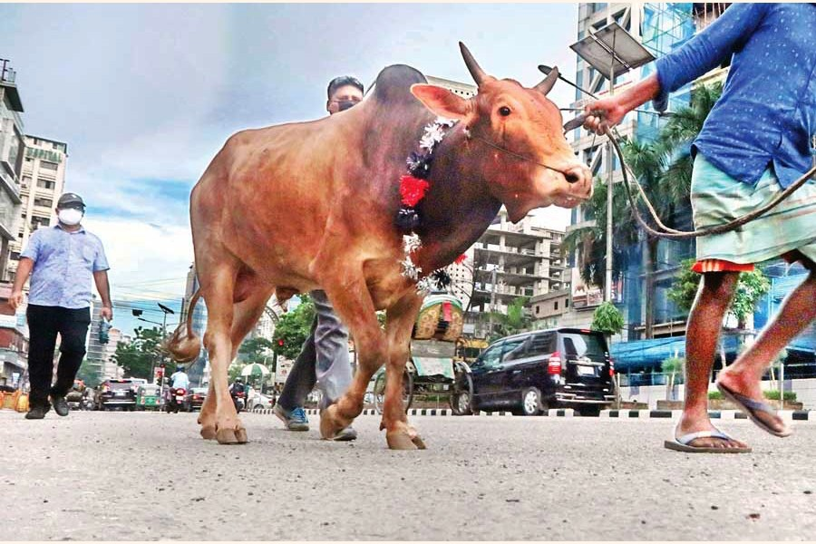 With Eid-ul-Azha only a day away, two men taking a sacrificial animal to their home after buying it from a cattle market in the city on Thursday. The photo was taken in Kakrail area — FE photo by Shafiqul Alam