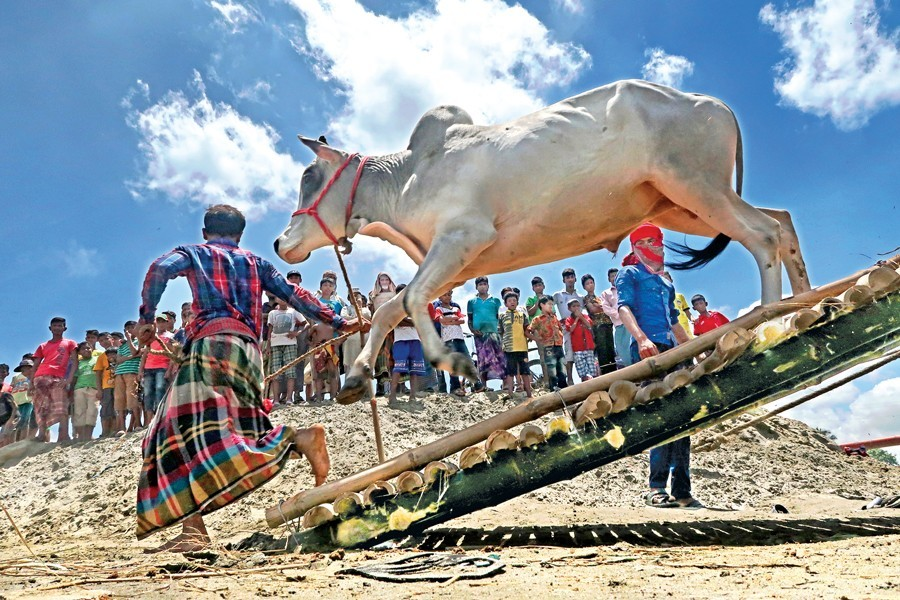 A cow leaping off a trawler at Postagola, as cattle are being brought to the city markets ahead of Eid-ul-Azha, August 16, 2018 — FE/Files