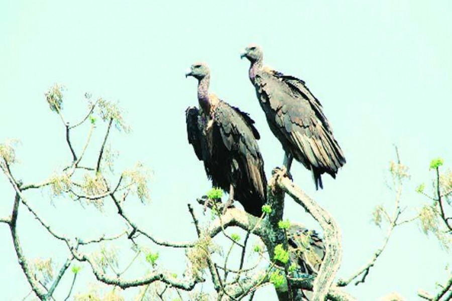 Vultures inching towards extinction with only 260 remaining in country
