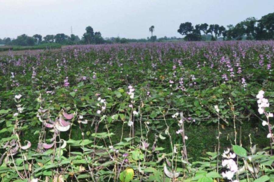 The photo gives a partial view of a bean field in Jashore — FE Photo