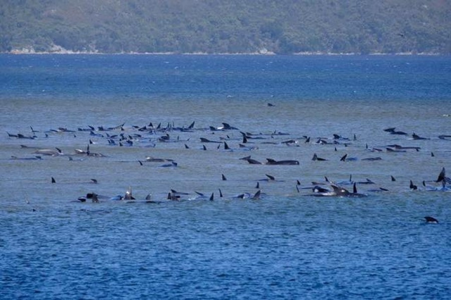 Stranded pilot whales are seen in Macquarie Heads, Tasmania, Australia September 21, 2020, in this picture obtained from social media. RYAN BLOOMFIELD/via REUTERS