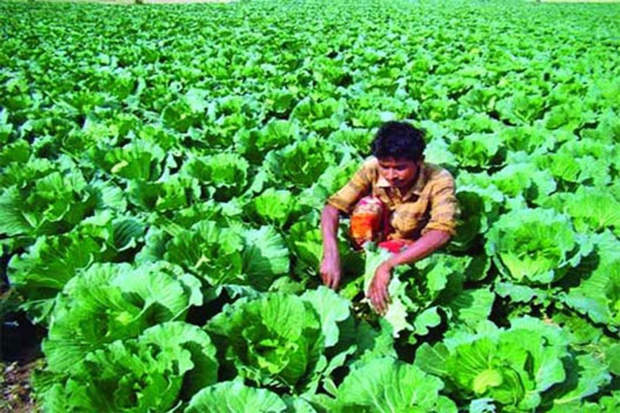 A farmer busy cultivating cabbage at Churamankathi village in Jashore — FE Photo