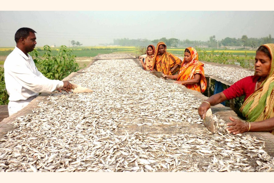Photo shows workers drying fishes in the Chalanbeel area — FE Photo