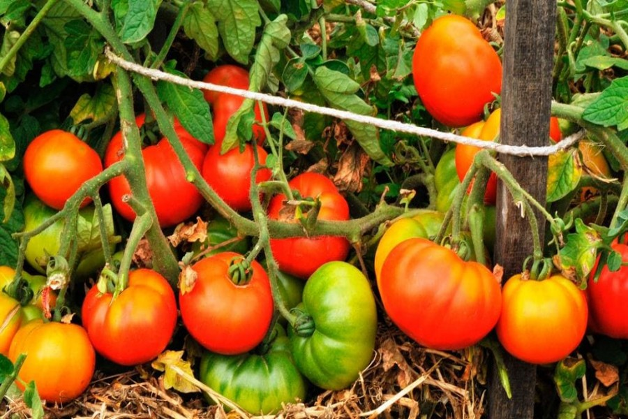 Tomato farming brings smiles to Rajshahi farmers