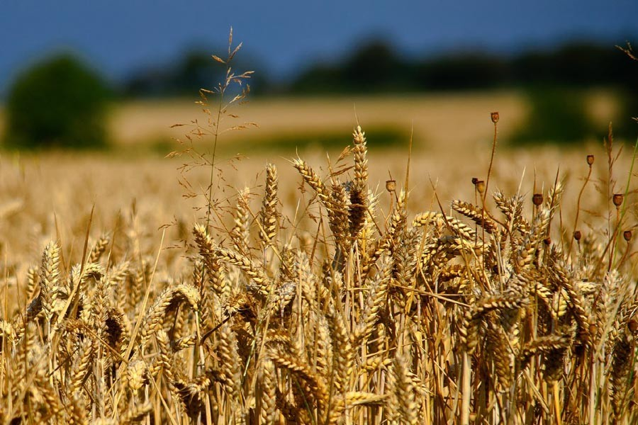 Bangladesh to turn to Ukraine for wheat as Russia plans to raise export tax