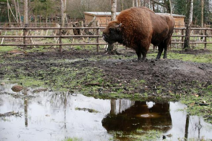 Bison rangers for woodland in the Garden of England sought