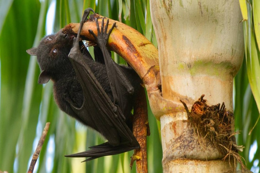 A black flying fox (Pteropus) feeding on a palm tree in Queensland, Australia. Bats and palms can both carry Nipah virus to humans. (Andrew Mercer via Wikimedia Commons)