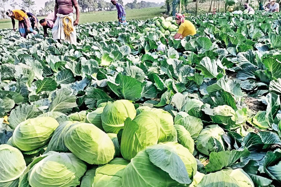 Farmers are busy picking cabbage in a field in a northwestern district of Bangladesh recently — Collected