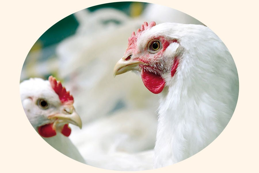 Poultry meat gets dearer in Dhaka