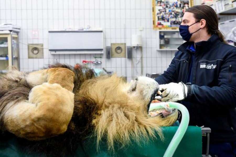 Lion has vasectomy after siring five cubs