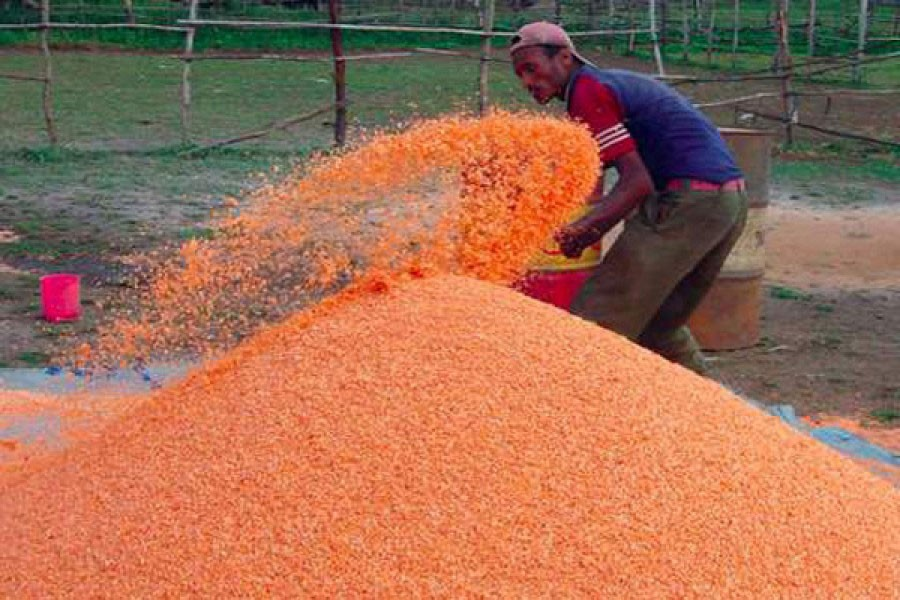 Downtrend in moshur price disappoints Magura farmers