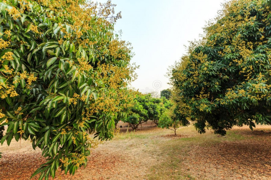 Farmers expect bumper litchi production in Rangpur region