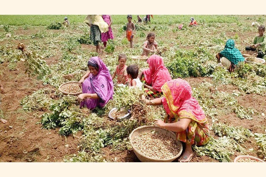 Women harvesting groundnut at a crop field in Tahirpur upazila of Sunamganj — FE Photo