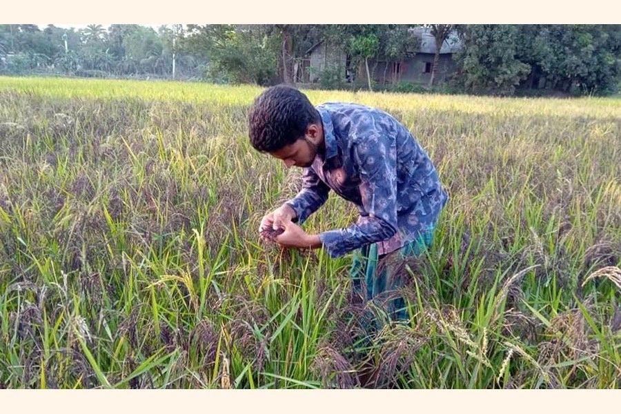 Arif Hossain taking care of black rice paddy at his field at Nangalkot in Cumilla district — FE Photo