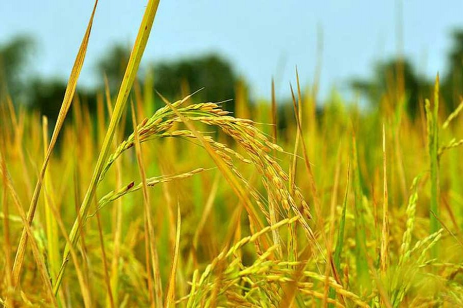 Rice yield likely to achieve target of 20.5m tonnes this Boro season
