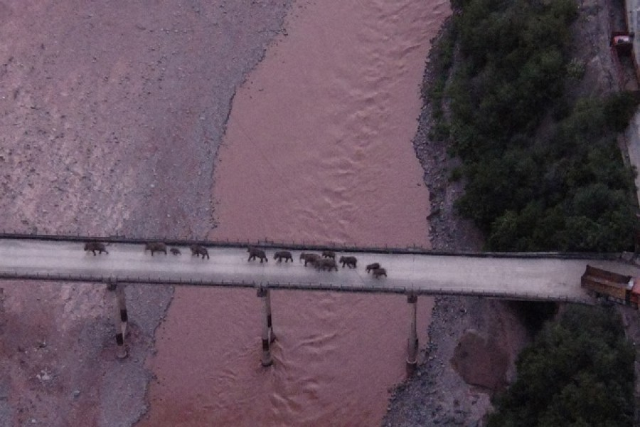 An aerial view shows a herd of wild Asian elephants crossing the Yuanjiang River in Yuanjiang county of Yuxi, Yunnan province, China August 8, 2021. The elephants are on their way back to their traditional habitat, according to provincial officials — China Daily via Reuters