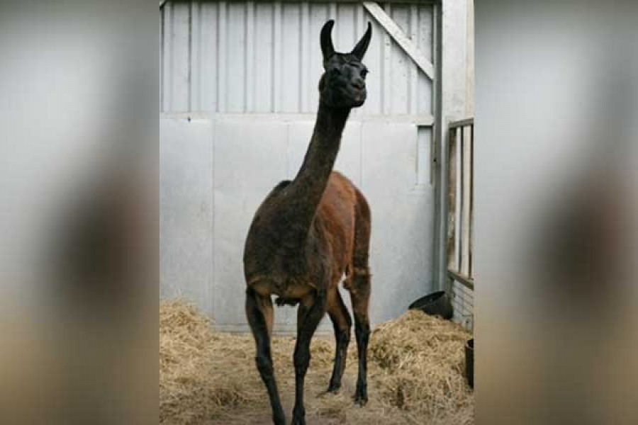 A llama named Winter is seen in this undated photo released by the VIB-UGent Centre for Medical Biotechnology in Ghent, Belgium on May 2020. VIB-UGent Centre for Medical Biotechnology via Reuters