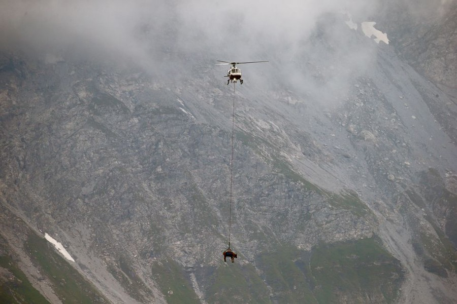 A cow is transported by a helicopter from after its summer sojourn in the high Swiss Alpine meadows near the Klausenpass, Switzerland on August 27, 2021 — Reuters photo