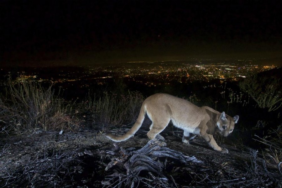 This July 10, 2016, photo shows an uncollared adult female mountain lion photographed with a motion sensor camera in the Verdugos Mountains in in Los Angeles County, Calif. Los Angeles city lights are seen in the background. (US National Park Service via AP)